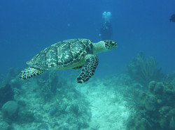 Turtle - Turks and Caicos
