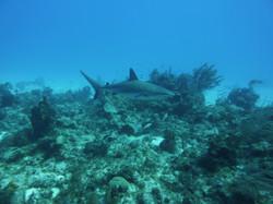 White Tip Shark, Turks & Ciacos