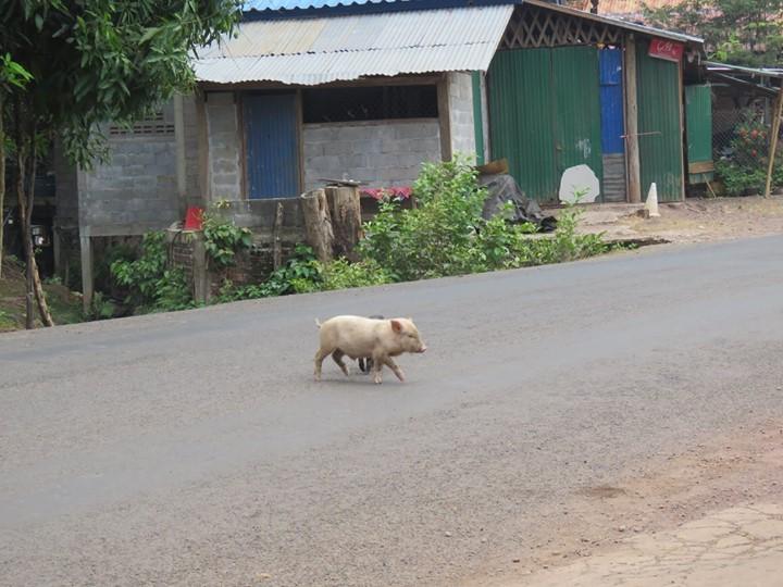 Il y a pleins de petit cochons partout ici !!