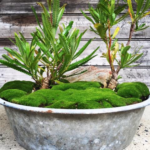 Australian Native Bonsai