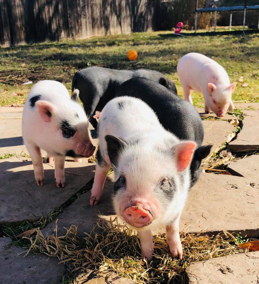 baby piglets.jpg
