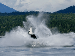 Pacific Northwest Orca Project 4.png