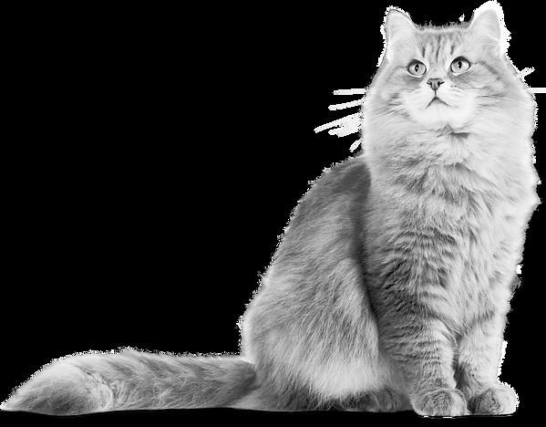 hq-cat-png-transparent-catpng-images-plu