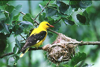 Golden Oriole2a.jpg