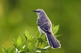 NorthMockingbird.jpg