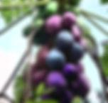 purplepapya.jpg