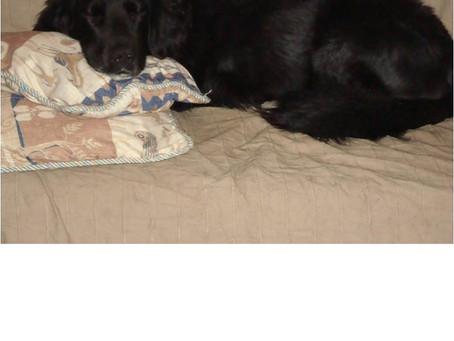 Le chien âgé ou ayant un handicap (surdité, mauvaise vue...)