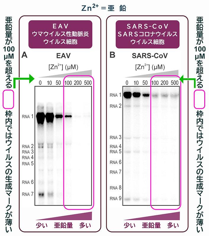細胞内亜鉛によるRNAウイルス(SARSコロナウイルス)の複製を妨害するレベル