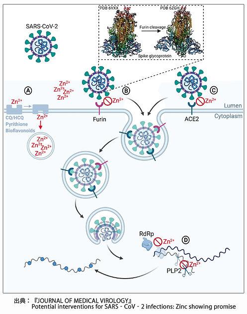 細胞内亜鉛の新型コロナウイルス無害化.jpg