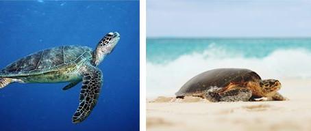 Fregate Island welcomes Hawksbill Turtle nesting season