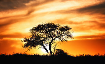 Sunset against acacia tree on african pl