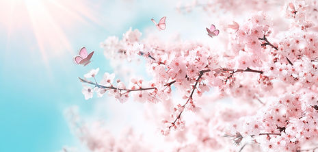Branches of blossoming cherry against ba