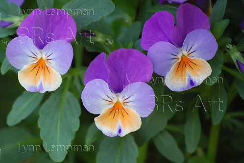 Three Purple and Orange Pansies