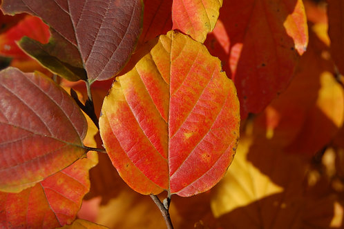 Autumn Fothergilla Leaf