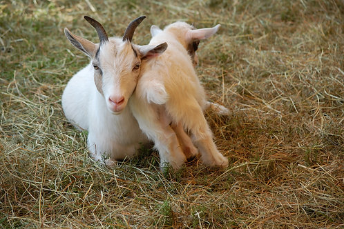 Lean On Me: Baby and Mother Goat