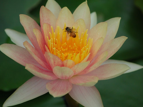 Wasp on Lily
