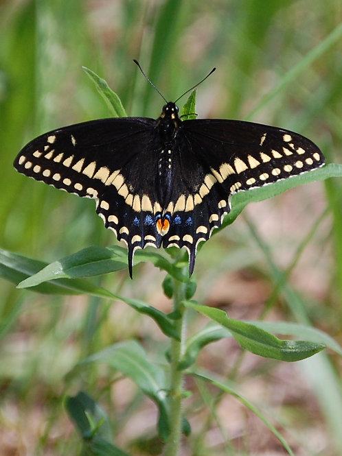 Zebra Swallowtail Butterfly in Meadow