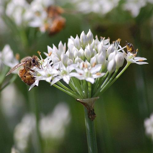 Bee Taking Nectar From  White Flower
