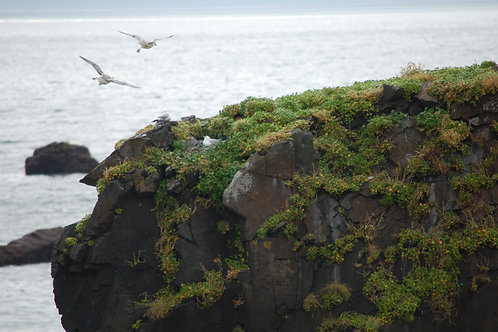 Gull Nesting on Precipice