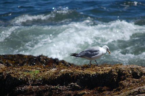 Herring Gull and Wave