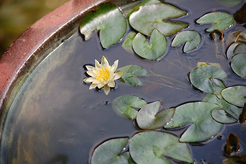 Water Lily in Large Pot