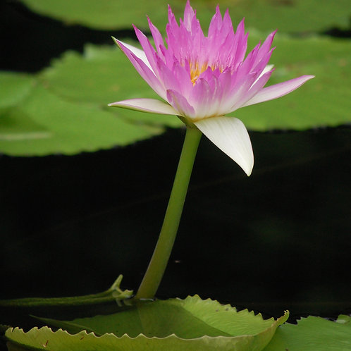 Pink Water Lily with Pads