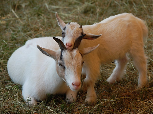 Putting Our Heads Together: Mother and Baby Goat