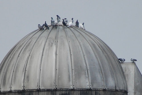 Rock Doves on Silo