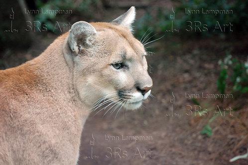 Cougar, Mountain Lion, Puma