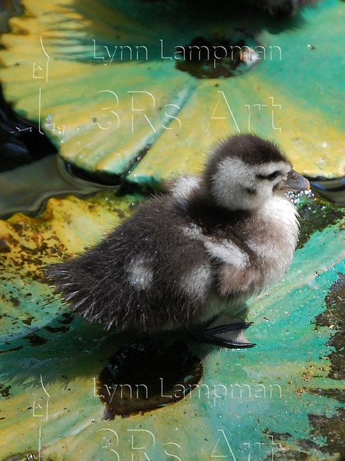 Duckling on Water Lily Pad