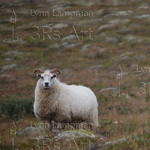 Icelandic Sheep with Horns