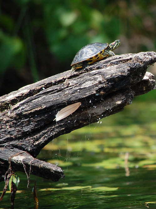 Red Eared Slider With Web and Feather