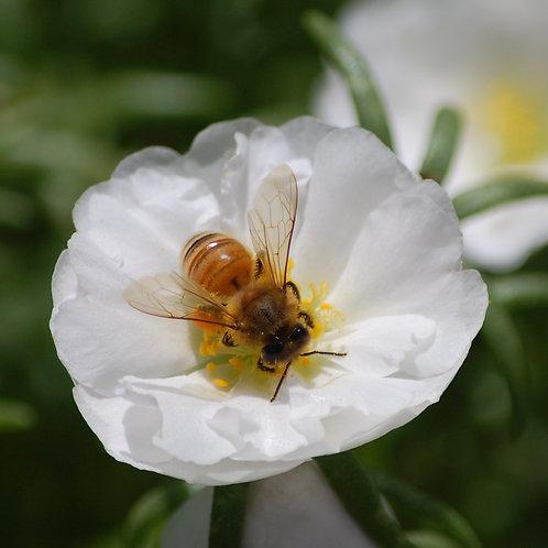 Bee In Center of White Flower