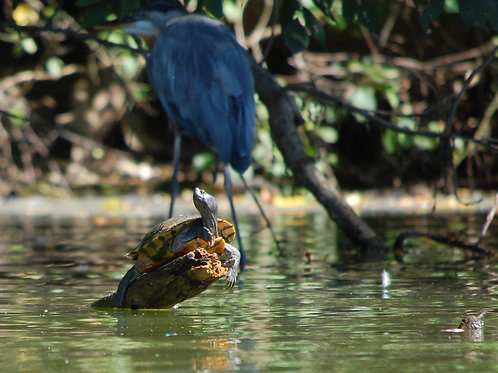 Eastern Box Turtle and Great Blue Heron