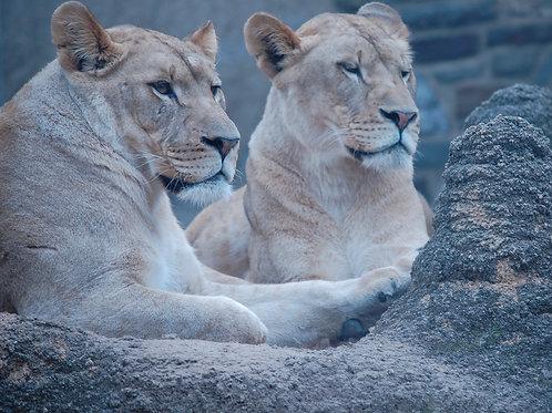 Pair of Lion