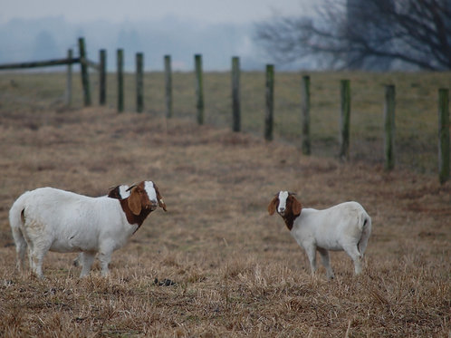 Two Brown and White Nubian Goats