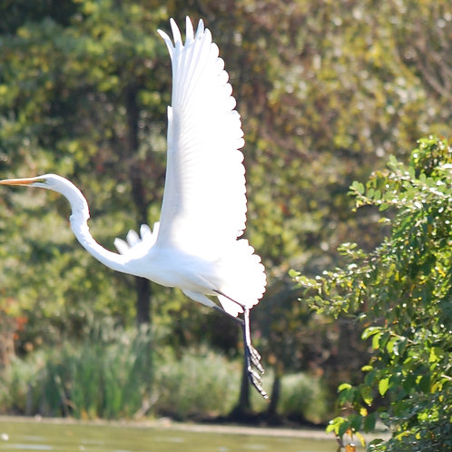 Great Egret Flying Over Marsh Creek Lake