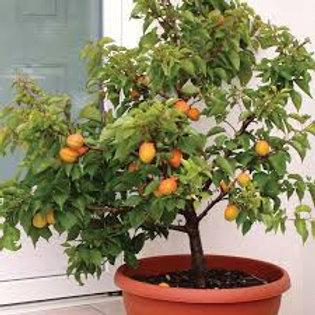 Chinese Apricot Semi-Dwarf