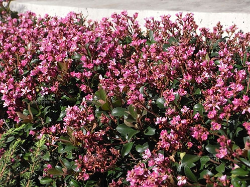Pink Lady Indian Hawthorne