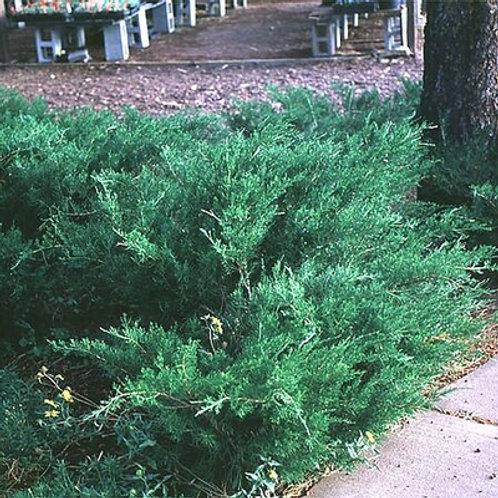 Seagreen Juniper