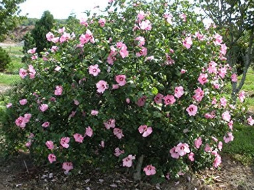 Aphrodite Rose of Sharon