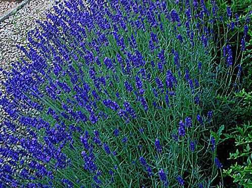 Deep Blue Lavender
