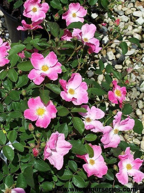 Nearly Wild Rose