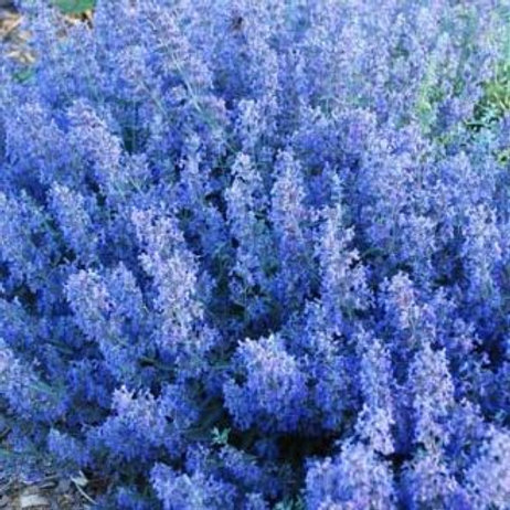 Select Blue Catmint