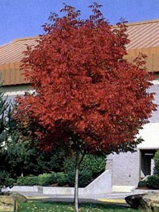 Autumn Purple® Ash
