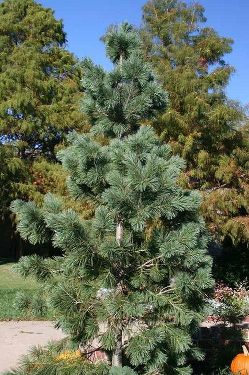 Vanderwolf Limber Pine