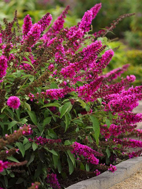 Hot Raspberry Dwarf Butterfly Bush