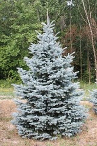 Blue Select Colorado Spruce