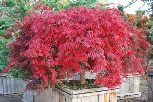 Red Select Japanese Maple