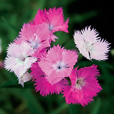 First Love® Dianthus